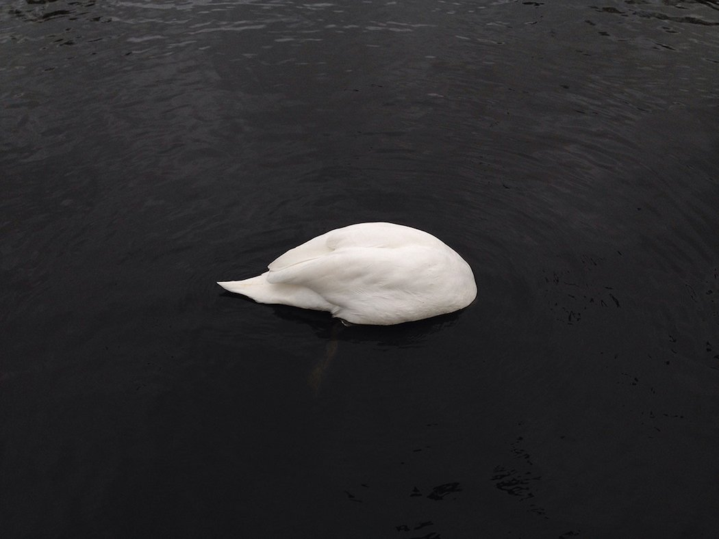 annlee_photohgraphy_swan