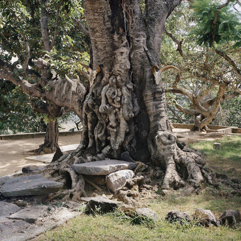 Sacrificial tree. Royal hill of Ambohimanga, Antananarivo, Analamanga, Madagascar, 2013