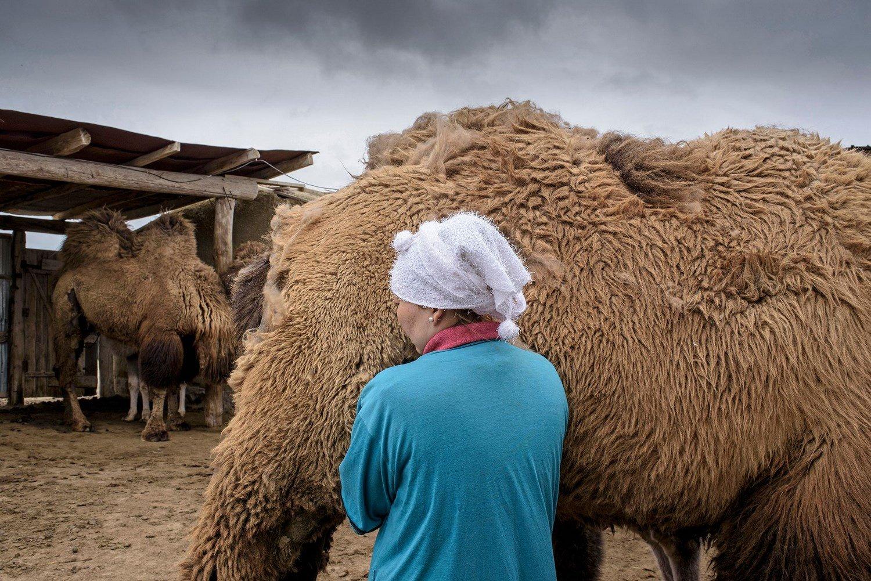 Akerke milking a camel.Akerk pendant la traite du midi.