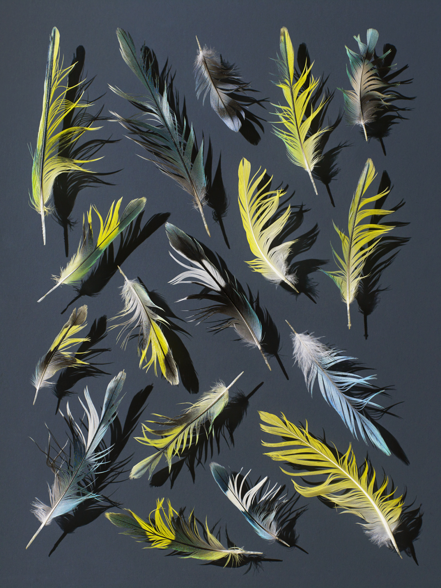 2017-09-06_59afbb56d98c5_BudgieFeather1