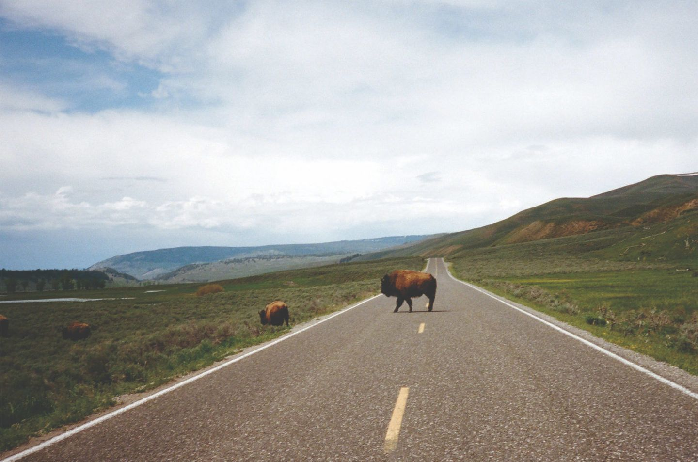 Bison crossing a road in Wyoming in the late spring.